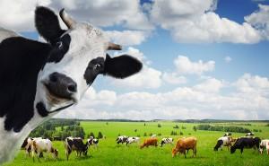 Inner Cow